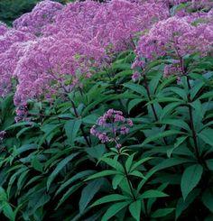 ■ Eupatorium maculatum (Joe Pye Weed) 'Gateway' ~ 3-6'H x 3-6'W  FSU-PSU  Su-EFa
