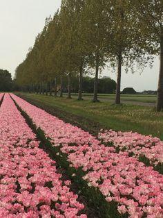 Tulpen in de Flevolandse polder!   #polder #flevoland #bloemen #flowers #tulpen