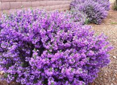 Wild lilac or Texas ranger is a flowering shrub with showy blossoms of vibrant lavender, purple, & magenta blooms & is surprisingly low maintenance. Plant it in full sunlight, then water it only during the summers or in times of drought.
