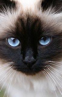Sea blue (looks like my cat boo)