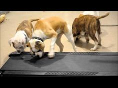 Dogs discover a treadmill. (Sidenote: this is like what I do at the gym every day.)