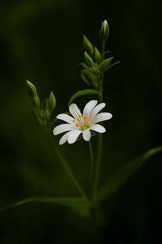 Stitchwort by Paul Eyre - Photo 172051295 - - luisa Beautiful Rose Flowers, Beautiful Flowers Wallpapers, Beautiful Nature Wallpaper, Rare Flowers, Flowers Nature, Amazing Flowers, White Flowers, Nature Photography Flowers, Flower Phone Wallpaper