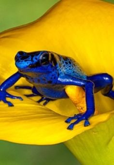 blue frog on yellow flower - Yahoo Image Search Results Funny Frogs, Cute Frogs, Beautiful Creatures, Animals Beautiful, Baby Animals, Cute Animals, Poison Dart Frogs, Mellow Yellow, Blue Yellow