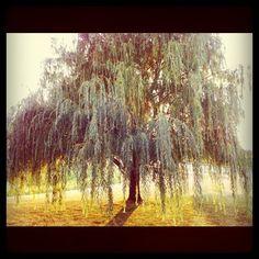 I love my willow tree.