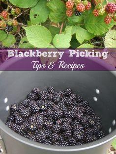 Blackberry Picking Tips & Recipes