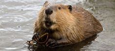 Toyota Gives Up Its Fight Against Beavers, Issues Hilarious Statement - Jalopnik