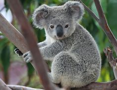 Koalas are one of the most-iconic symbols of Australia, using their famously-cute faces to make them utterly-collectable in plush form. Description from roninarmy.com. I searched for this on bing.com/images