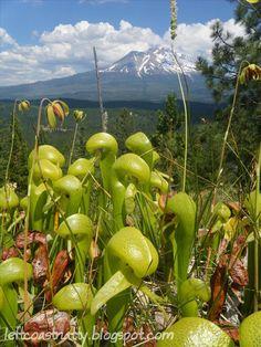 Left Coast Naturalist: Darlingtonia californica – the Cobra Lily (California pitcher plant)