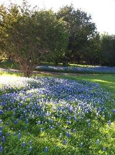Our pasture with native bluebonnets.
