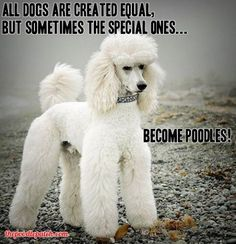 All dogs are created equal, but sometimes the special ones become poodles! Especially toy and mini poodles =)