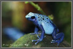 blue dart frog - Dendrobates tinctorius var. azureus