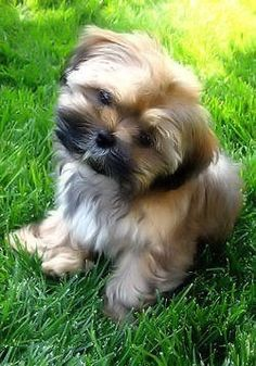 Shorkie~looks just like my Lily when she was a baby!!