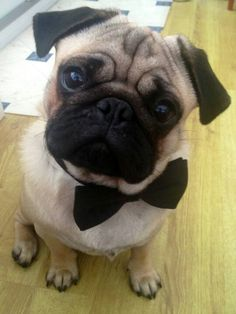 Pug in a bowtie... Tuck needs this for the wedding!