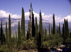 """""""A cypress, not a bosom, hides my heart"""" Emblematic tree of mourning"""