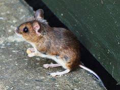 If you have any holes you think mice are coming through, fill all with wire or steel wool. Mice cannot chew through this, and cannot come in...