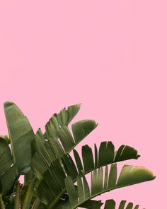 Palm Tree on pink background. Stock photograph, instant download