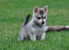 Alaskan klee kai dog photo | alaskan klee kai puppy | For the Love of Animals