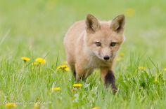 Walk in the flower - Renard roux / Red fox Fox Pups, Fabulous Fox, Red Fox, Cubs, Wolf, Walking, Creatures, Baby Foxes, Gift