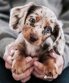 Cute pictures of Dachshund puppies and dogs. This is a dapple, blue eyed Dachshund. Pictures of Dachshunds that will make you happy. Photos of Dachshunds. Cute Little Animals, Cute Funny Animals, Funny Dogs, Baby Animals Super Cute, Funny Puppies, Cute Little Puppies, Cutest Animals, Cute Dogs And Puppies, Doggies