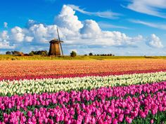 Holland is known around the world for its rainbow-hued fields of tulips, especially those located in and around Keukenhof. Millions of bulbs are planted in the park each year—visit in mid-April to see the flowers during their peak season.