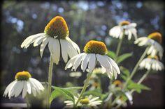cone flowers by Amy Jo Huffer, via Flickr