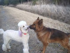 nose to nose #poodle #shepherd 2013 2.11