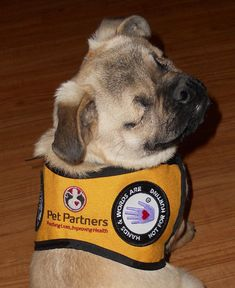 Xander is an adopted blind pug and is a certified Therapy dog. He was born blind, without eyes actually. That he has a perfect temperment for therapy work and doing it. More people should adopt their pets.
