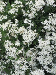 Flowering Creepers, Creepers Plants, Garden Bulbs, Shade Garden, Garden Plants, Best Plants For Shade, Shade Plants, Evergreen Clematis, Part Shade Perennials