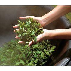 Las plantas denominadas termogénicas y lipolíticas aumentan la liberación de los ácidos grasos almacenados en el tejido adiposo, incrementan la termogénesis