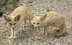 The fennec fox or fennec (Vulpes zerda) is a small nocturnal fox found in the Sahara of North Africa. Its most distinctive feature is its unusually large ears, which serve to dissipate heat. Its name comes from the Arabic word فنك (fanak), which means fox, and the species name zerda comes from the Greek word xeros which means dry, referring to the fox's habitat.