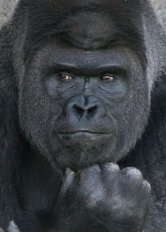 The World's Most Handsome Gorilla That Has Hordes of Women Visiting the Zoo                                                                                                                                                                                 More
