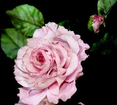 pink rose - Cake by Renata Brocca