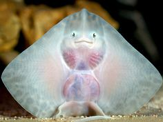 Who are you calling fish face? The baby ray causing ripples in the marine world with its alien-like smile Smiling Animals, Baby Animals, Funny Animals, Cute Animals, Smiling Fish, Laughing Animals, Baby Stingray, Stingray Fish, Manta Ray