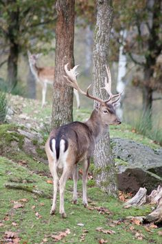 How close have you been to a Dovhjort/kronhjort? Fallow Deer, Nature, Animals, Naturaleza, Animales, Animaux, Animal, Animais, Nature Illustration