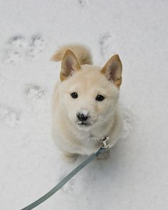 Adorable Shiba Inu pup in the snow Animals And Pets, Baby Animals, Funny Animals, Cute Animals, Wild Animals, Cute Puppies, Cute Dogs, Dogs And Puppies, Doggies