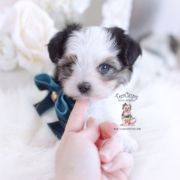 Morkie Puppies And Designer Breed Puppies For Sale By Teacups Puppies Teacups Puppies Boutique In 2020 Morkie Puppies Teacup Puppies Cute Teacup Puppies