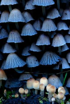 Fabulous Fungi ~ Blue and White Mushrooms All Nature, Amazing Nature, Wild Mushrooms, Stuffed Mushrooms, Plant Fungus, Mushroom Fungi, Mushroom Seeds, Mushroom Art, Natural Forms