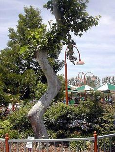 "Californie - Arbre sculpté par Axel Erlandson au parc d'attractions ""Tree Circus"""