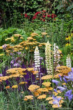 Urban oasis, Environment garden. Hampton court flower show 2012. Design by Chris Beardshaw. Photo by Cecilia Soneskär.    Achillea 'Inca Gold', Salvia nemorosa 'Caradonna', Lupinus