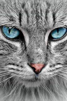 THOSE EYES ......  #blue eyes cat