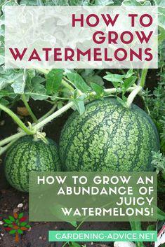 How To Grow Watermelons #gardeningtips #gardening #homesteading #homesteadgarden #urbangardening #gardeningforfood #ediblegarden