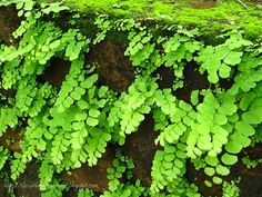 The Urban Gardener: Moss and snails and maidenhair ferns ... that's what monsoons are made of