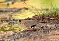 The Masked Grassfinch - Poephila personata