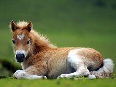 Un poulain alezan couché dans l'herbe