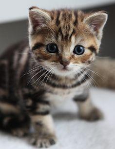so cute... tabby kitten