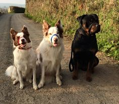 Jet, Jenson and Cooper - three of our favourite Canny dogs looking simply splendid in their Canny Collars.