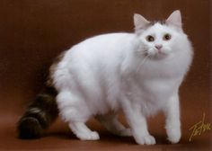 Beautiful, soft, sweet, tons of personality, and they're even as close to hypoallergenic as a long-haired cat can get. The Turkish Van has it all. Turkish Van Cats, Long Haired Cats, Animal Fur, Beautiful Cats, Cat Breeds, Animal Pictures, Cats And Kittens, Cute Cats, Cute Animals