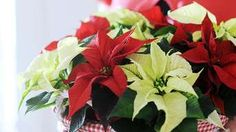 The poinsettia, native to Mexico, has become a traditional plant that can be seen in many homes around the winter holidays. If you give your poinsettia plant a bit of extra tender loving care, the … Calathea Plant, Zebra Plant, Christmas Cactus, Christmas Time, Christmas Ideas, Flower Pots, Flowers, Tropical Plants, Gardens