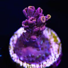 Die 1585 Besten Bilder Von Korallen Zeichnen Marine Life Conchas