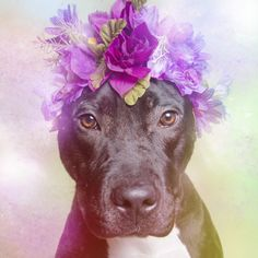 Athena | 11 Pit Bulls Who Are Gentle Hippies At Heart